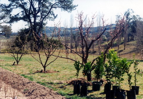 Establishing our orchard in Bowral, 1994