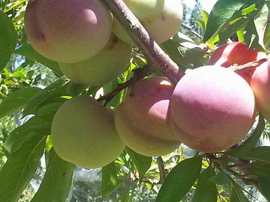 0001 under-ripe plum