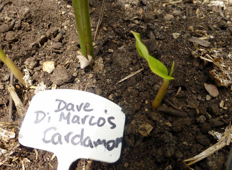 Cardamom shoots