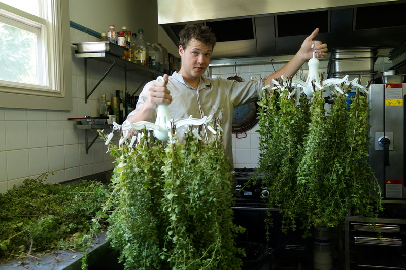 Oregano -preparing to dry with Kai!