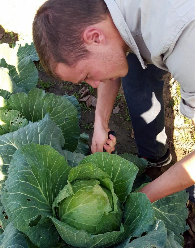 Kai Picking a cabbage